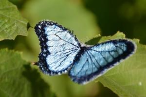 Schmetterling_hellblau